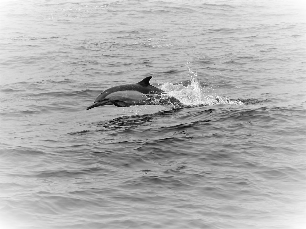Common Dolphin in San Diego; PC: Cassie Paumard, Founder of Saving Wildlife Project