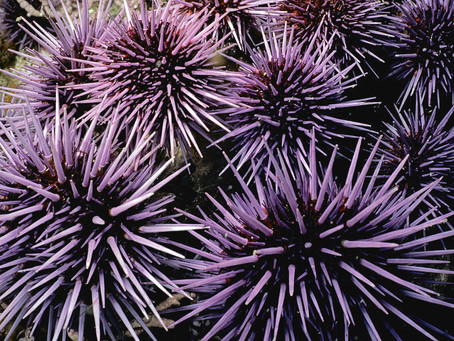 How Removing Sea Urchins Can Make Our southern California Kelp Beds Thriving Again
