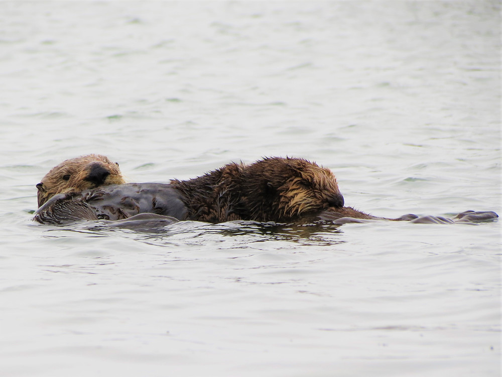 Southern California Sea Otters, baby (right) and mother (left) grooming; PC: Cassie Paumard, Founder of Saving Wildlife Project