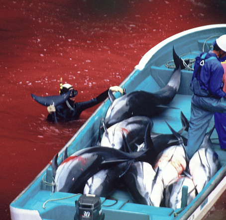 Dolphin Slaughter to Continue