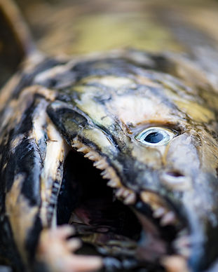 save salmon.jpg