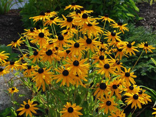 Black-Eyed Susan...Don't Let Her Take Over!!