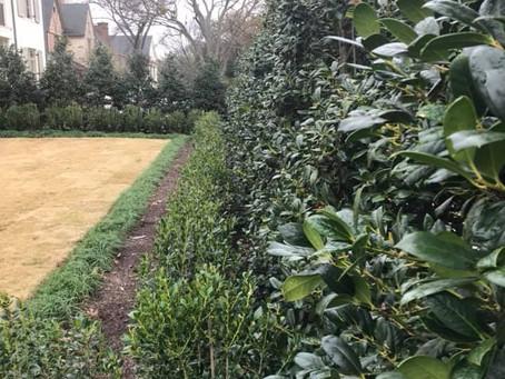 University Park Hedge Pruning