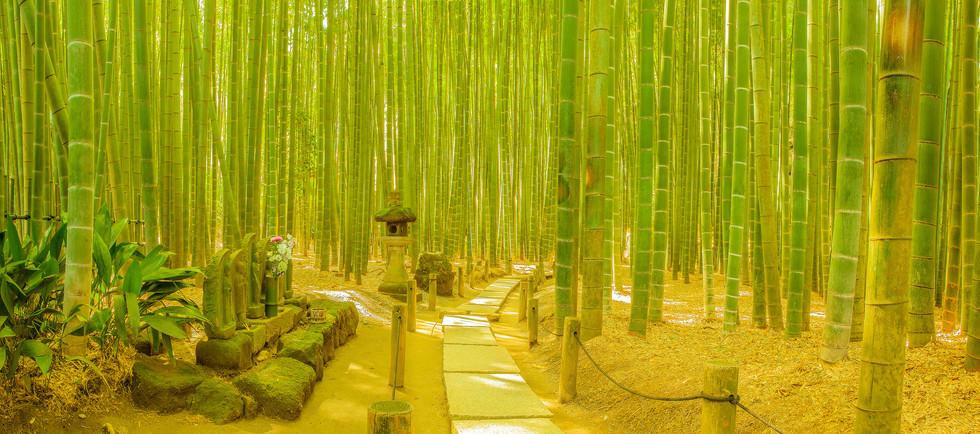 Bamboo garden in Kamakura, Japan