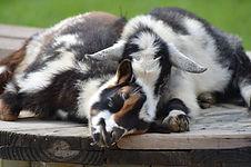 Goat pic.jpg