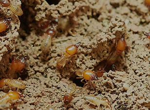 Subterranean termite inspections