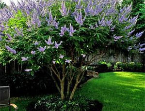 ornamental shrub pruning. flowering bush.