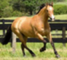 dun_mare_horse_cantering.jpg