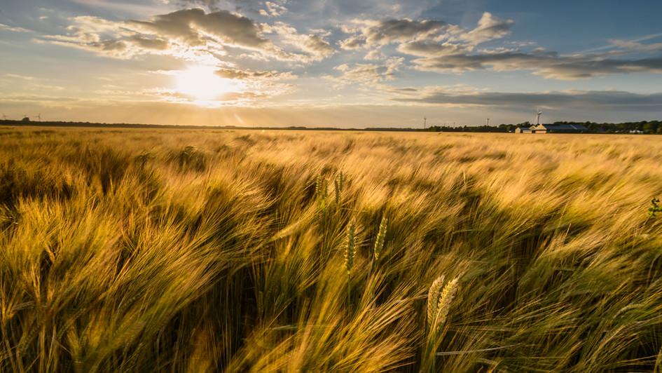 fields of gold..