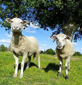 moutons_ferme-1920w.jpg