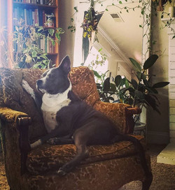 My pitbull sitting fancy on a chair