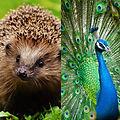 Hedgehog and Peacock.JPG