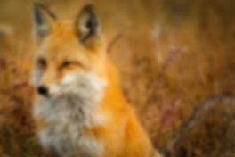 fox-1883658_960_720.jpg