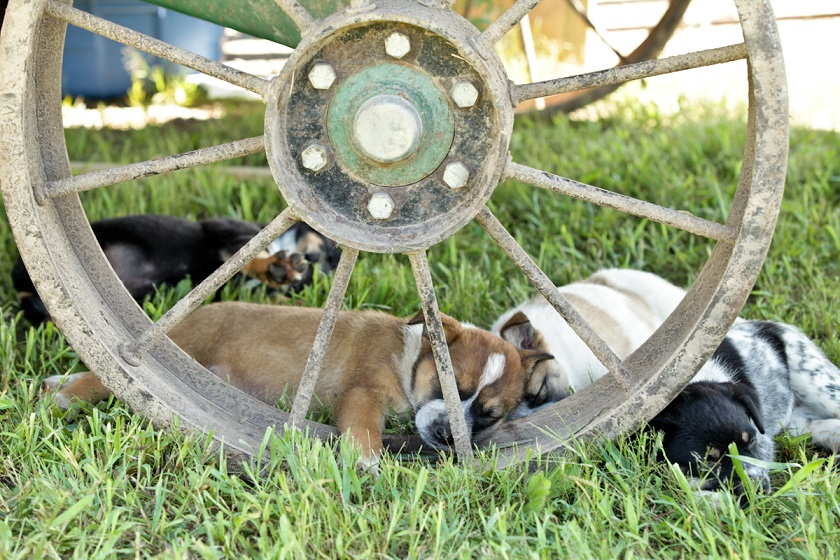 urban-graze-puppies-on-the-farm