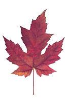 图象叶子槭树红色向量-46358513.jpg