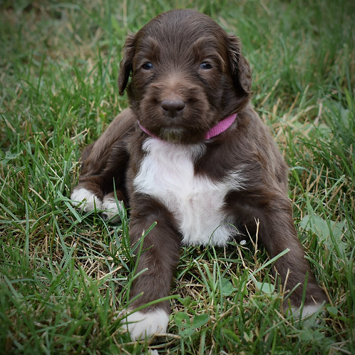 Chocolate Aussie Doodle Girl