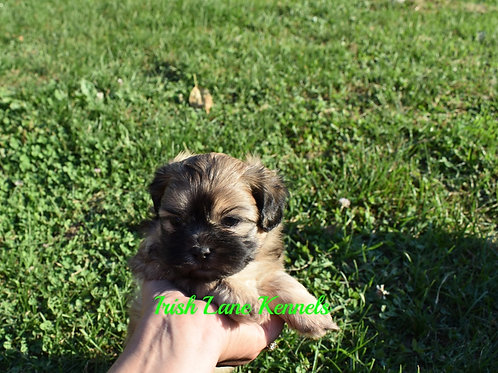 ~SOLD~Brindle girl