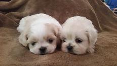 Shih Tzu, Teddy, Pekingnese, Malty, Poodle, Puppy, Non shedding, small, mini, toy,  Dog