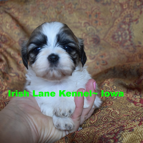 SOLD~Shih Tzu Girl~Tri