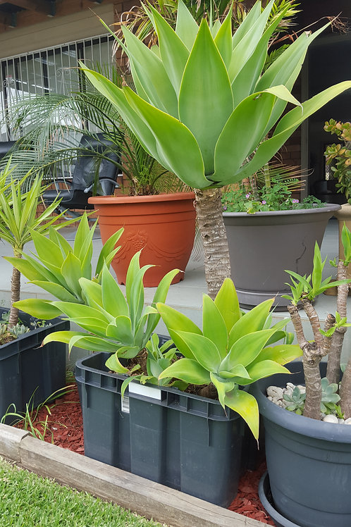 AGAVE LARGE