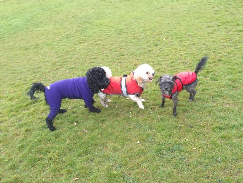 3 dogs in coats.JPG