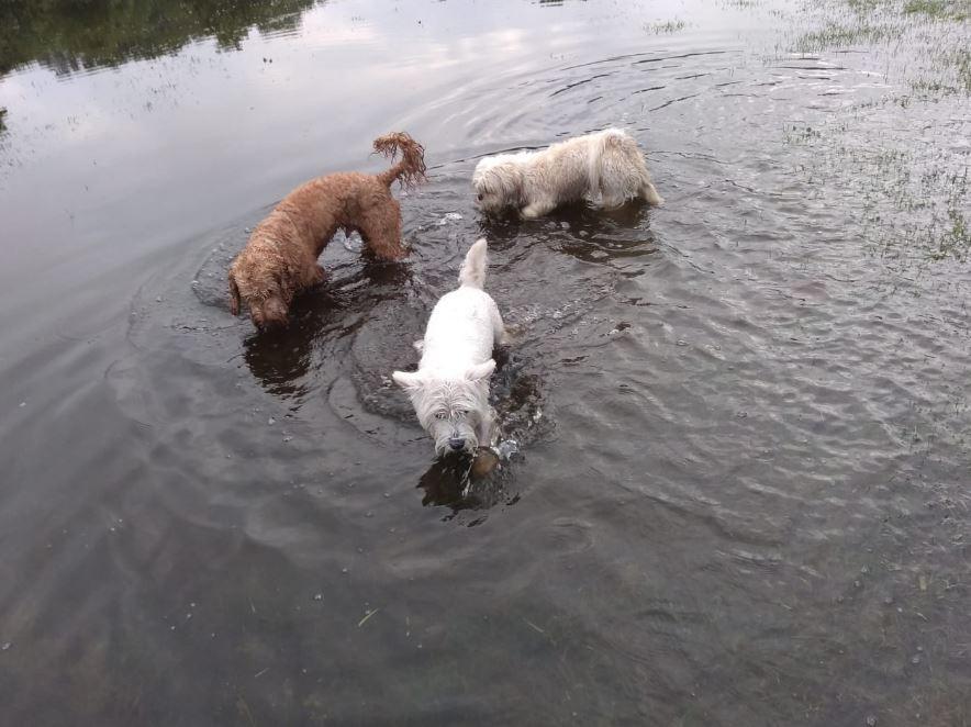 3 dogs paddling.JPG