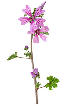 beautiful violet flower Common Mallow (M