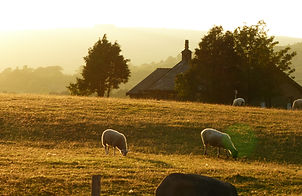 sheep evening.JPG