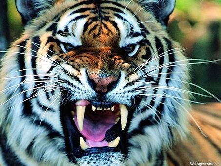 oskal-tigra-[1024x768]-[32895925].jpg