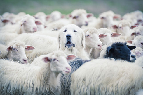 A shepherd dog popping his head up from