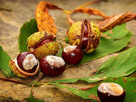 Why pregnant women are like conkers!