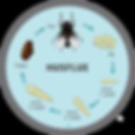 Fluens livscyklus - 100x100.png