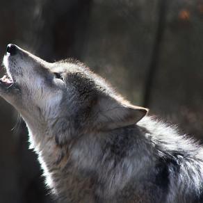 Rozwój wilka – dzień po dniu