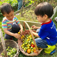 Harvesting tomatoes in our farm.jpg