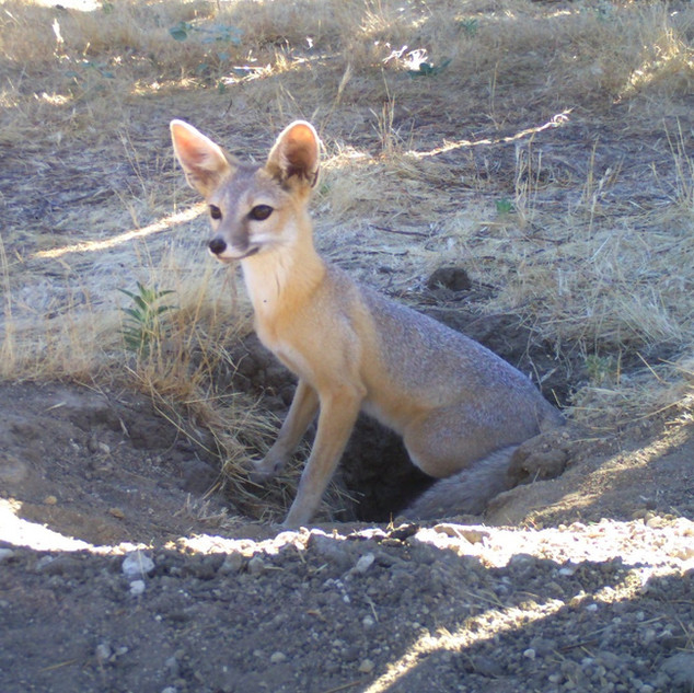 San Joaquin Kit Fox (Coming Soon)