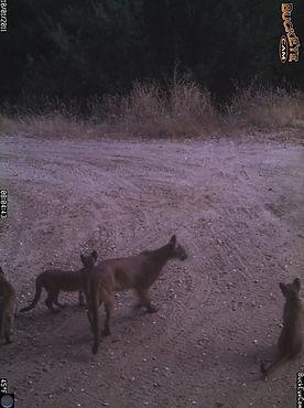 Mountain Lion1a-Hind River Ranch.JPG