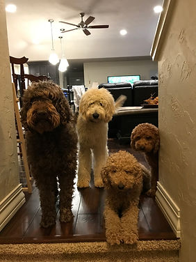 Illinois Goldendoodles, golden doodle, galena, illinois, dogs for sale