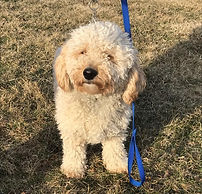 Illinois Goldendoodles, golden doodle, galena, illinois, dogs for sale, puppies for sale