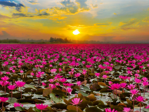 The Red Lotus Sea, Thailand's Magical Freshwater Lake