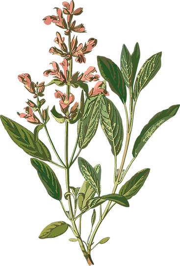 png-clipart-common-sage-botanical-illust