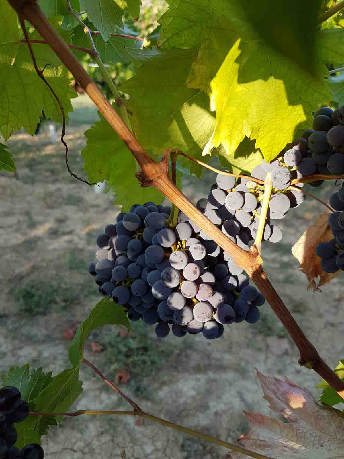 Grapes and landscapes 2017