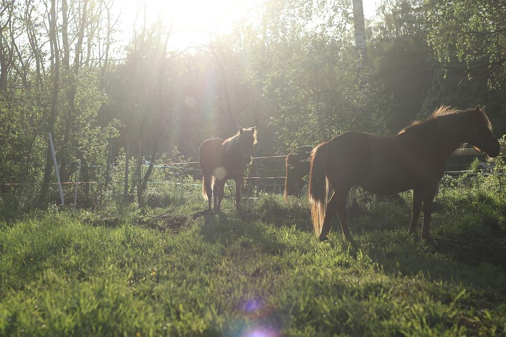 Suomenhevosia kesäillassa. Näidenkin hevosten perimästä tiedetään jo jotain, muttei läheskään kaikkea.