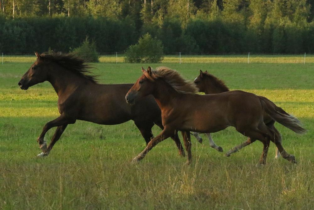 Juuli ja perilliset Helmi sekä Huuma laitumella kesällä 2020
