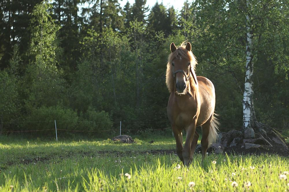 Hevoset tarvitsevat tilaa. Huisi Helmi laitumella 2020
