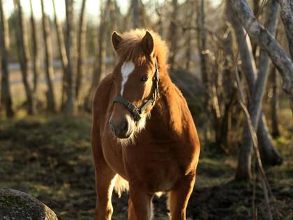 Värijalostusta suomenhevosissa