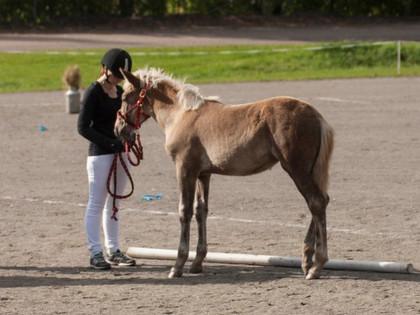 Kenelle suomenhevosia kasvatetaan?