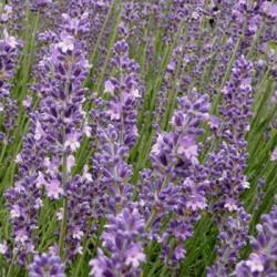 有機喀什米爾薰衣草 Lavender Kashmir