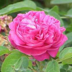 有機波斯玫瑰純露