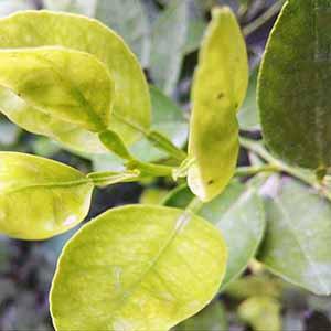 野生檸檬葉精油