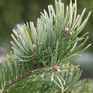 西伯利亞冷杉精油 (傳統栽種)